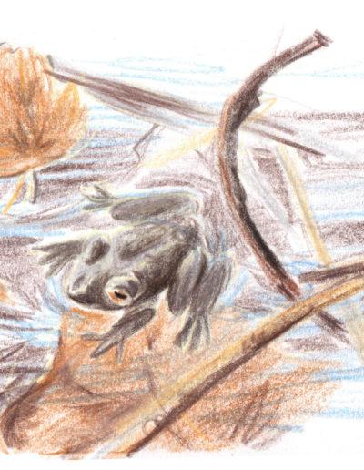 Croquis naturaliste grenoble crapaud