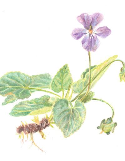 Dessin botanique grenoble