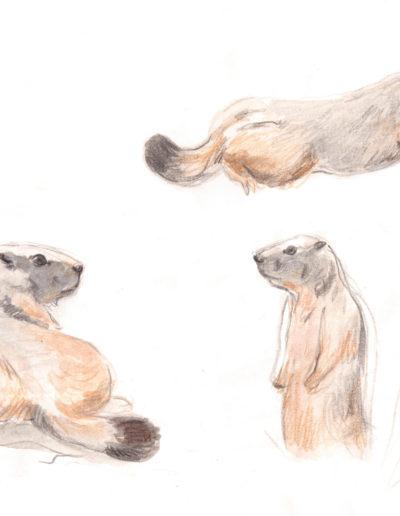 Dessin naturaliste Grenoble marmottes