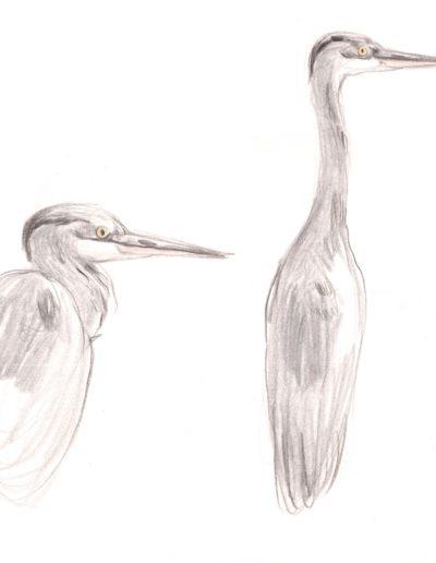 Dessin naturaliste grenoble oiseaux héron